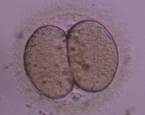 Έμβρυο 2ης ημέρας στο στάδιο των 2 κυττάρων 1ης βαθμίδας.